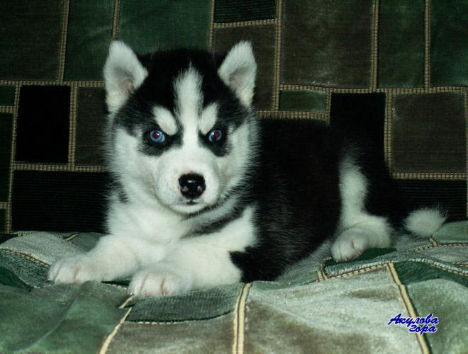 Куплю щинка Хаски! з голубими очима ( не обовязково ) вік до 2,5 місяців...